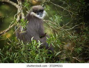 Sri Lanka endemic, shy Purple-faced Leaf Monkey Trachypithecus vetulus,  grayish brown fur monkey sitting on branch in the canopy, feeding leaves. Eye level photo. Blurred green forest background.