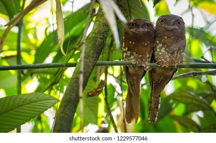Sri Lanka frogmouth which is a Tropical nocturnal birds related to the nightjars. There flight is weak and fluttery, however they are capable of flying quietly under the forest canopy at night.