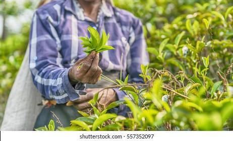 Sri Lanka: hands of tea collector holding tea leaves in tea plantation