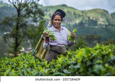Sri Lanka, Hatton, March 8, 2018: Female Tea picker at work in Lipton Plantation. Women collect tea plantation in the mountains. Pluck tea