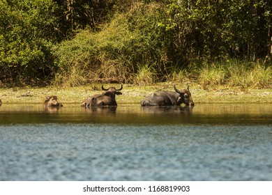 Sri Lanka National park Wilpattu,wild water buffalo (Bubalus arnee), also called Asian buffalo, Asiatic buffalo and wild Asian buffalo