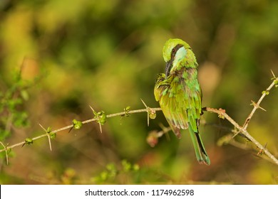 Sri Lanka, National Park Yala,green bee-eater (Merops orientalis) (sometimes little green bee-eater) chips feathers