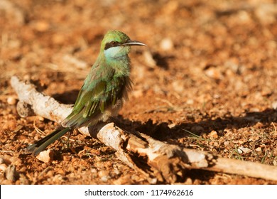 Sri Lanka, National Park Yala,green bee-eater (Merops orientalis) (sometimes little green bee-eater) on the ground