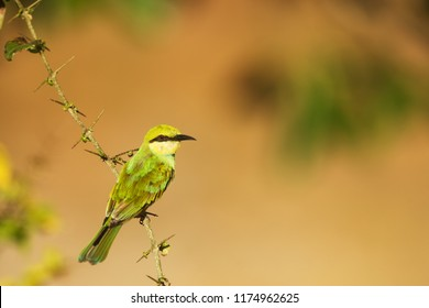 Sri Lanka, National Park Yala,green bee-eater (Merops orientalis) (sometimes little green bee-eater) small bird