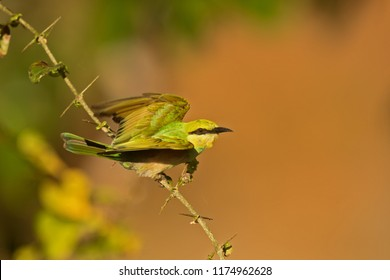 Sri Lanka, National Park Yala,green bee-eater (Merops orientalis) (sometimes little green bee-eater) wants to strart flying