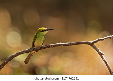 Sri Lanka, National Park Yala,green bee-eater (Merops orientalis) (sometimes little green bee-eater) with nice background
