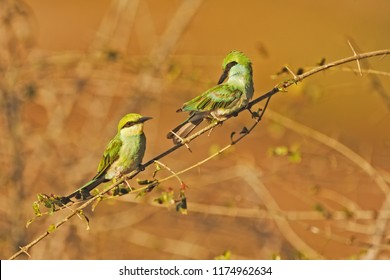 Sri Lanka, National Park Yala,green bee-eater (Merops orientalis) (sometimes little green bee-eater) beatiful birds