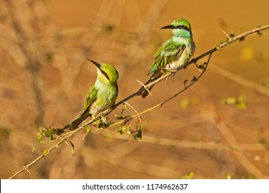 Sri Lanka, National Park Yala,green bee-eater (Merops orientalis) (sometimes little green bee-eater) two birds waiting insect