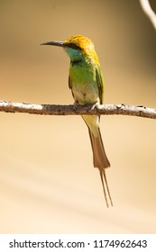 Sri Lanka, National Park Yala,green bee-eater (Merops orientalis) (sometimes little green bee-eater) close up