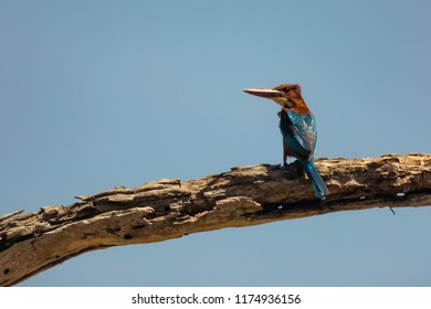 Sri Lanka, National Park Yala,White-breasted Kingfisher (Halcyon smyrnensis), alone on the dry branch with blue sky