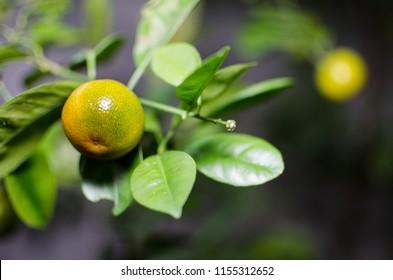 Sri Lanka orange or narang fruit
