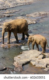 Sri Lanka, Pinawella Cattery. Elephants are bathing and washing in the river