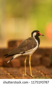 Sri Lanka, The red-wattled lapwing (Vanellus indicus)