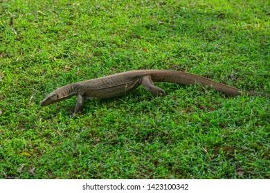 Sri Lanka Sigiriya goanna reptile