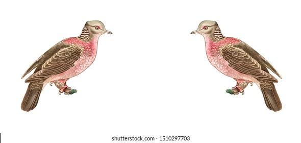 Sri Lanka Wood Pigeon Images Stock Photos Vectors