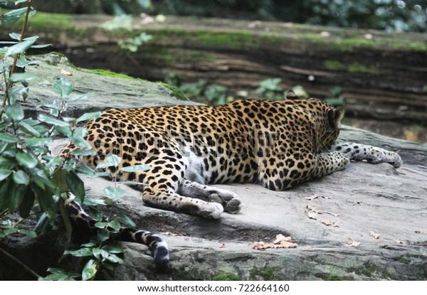 Sri Lankaanse panter