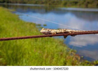 a sri lankan chameleon resting on a wire near a lake in wasgamuwa national park