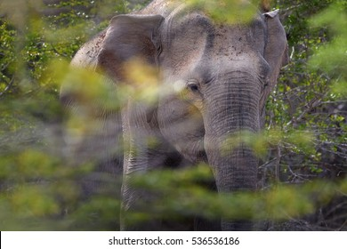 Sri Lankan elephant, Elephas maximus maximus, portrait of male in dense bush.   Yala National park, Sri Lanka.
