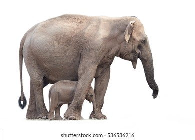 Sri Lankan elephant, Elephas maximus maximus, mother protecting new-born elephant, isolated on white background. Yala National park, Sri Lanka.