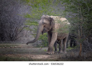 Sri Lankan elephant, Elephas maximus maximus, group of elephants coming from the bush led by oldest female. Yala National park, Sri Lanka.