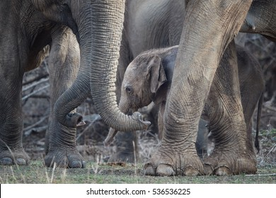 Sri Lankan elephant, Elephas maximus maximus, mother protecting new-born elephant, close up photo. Detail of elephant calf among trunks and legs.  Yala National park, Sri Lanka.