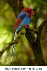 Sri Lankan endemic Ceylon Blue Magpie Urocissa ornata. Shining blue breast and terracotta colored wings, red opened beak and eye. Long tail. Adult magpie perched on branch.Blurred forest background.