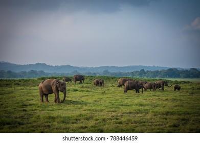 Sri Lankan Herd of Female and Baby Elephants in Minneriya National Park during Winter Sunset Evening