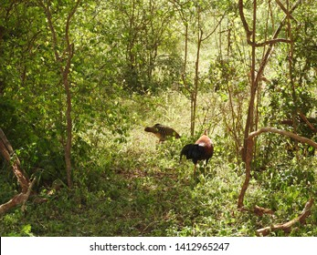 A Sri Lankan Junglefowl Gallus lafayettii forages on a jungle path deep in Sinharaja Forest Reserve. This is the national bird of Sri Lanka and closely related to the Red Junglefowl.
