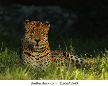 The Sri Lankan leopard or Ceylon leopard (Panthera pardus kotiya) is a leopard subspecies native to Sri Lanka