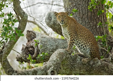 Sri Lankan leopard (Panthera pardus kotiya), also called Ceylon leopard, is a leopard subspecies native to Sri Lanka that was first described in 1956 by the Sri Lankan zoologist Deraniyagala