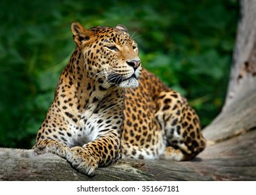 Sri Lankan leopard, Panthera pardus kotiya, big spotted cat lying on the tree in the nature habitat, Yala national park, Sri Lanka.
