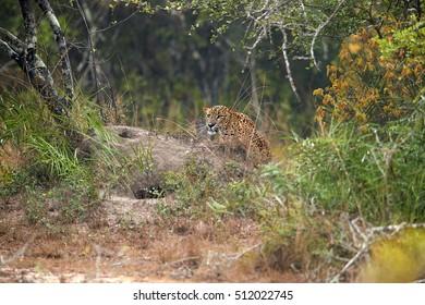 Sri Lankan leopard, Panthera pardus kotiya, predator native to Sri Lanka. Male tracking prey. Wildlife, typical environment of leopard subspecies. Wilpattu national park, Sri Lanka.