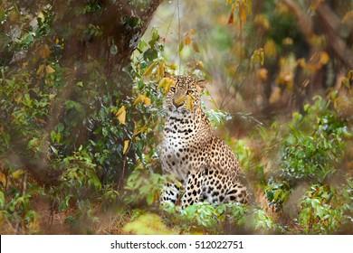 Sri Lankan leopard, Panthera pardus kotiya, predator native to Sri Lanka. Female  in dense bush. Wildlife, typical environment of leopard subspecies. Wilpattu national park, Sri Lanka.