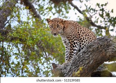 Sri Lankan leopard, Panthera pardus kotiya, big cat, predator native to Sri Lanka. Male staring directly at camera, sitting on a tree in dense bush. Wildlife, Yala national park, Sri Lanka