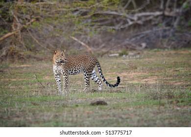 Sri Lankan leopard, Panthera pardus kotiya, big cat, predator native to Sri Lanka. Female on open place with dense bush in background. Wildlife photography, Yala national park, Sri Lanka.