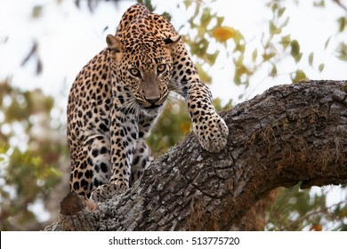 Sri Lankan leopard, Panthera pardus kotiya, big cat, predator native to Sri Lanka. Male on a tree, staring directly at camera, close up distance. Wildlife photography, Yala national park, Sri Lanka.