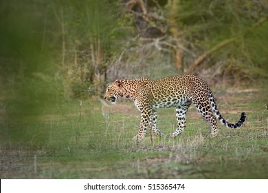 Sri Lankan leopard, Panthera pardus kotiya, big cat native to Sri Lanka. Walking leopard.  Wildlife photography, Yala, Sri Lanka.