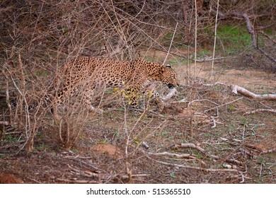 Sri Lankan leopard, Panthera pardus kotiya, big cat, predator native to Sri Lanka. Female in dense bush, shows the effectiveness of camouflage pattern. Wildlife photography, Yala, Sri Lanka.