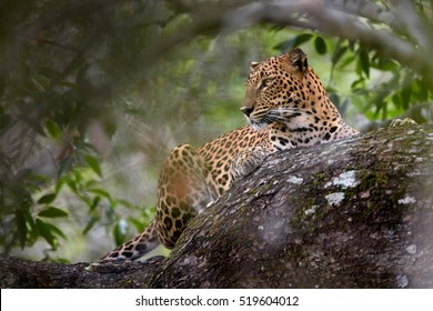 Sri Lankan leopard, Panthera pardus kotiya, predator native to Sri Lanka. Female laying on a tree in dense bush. Wildlife, typical environment of leopard subspecies in Yala national park, Sri Lanka.