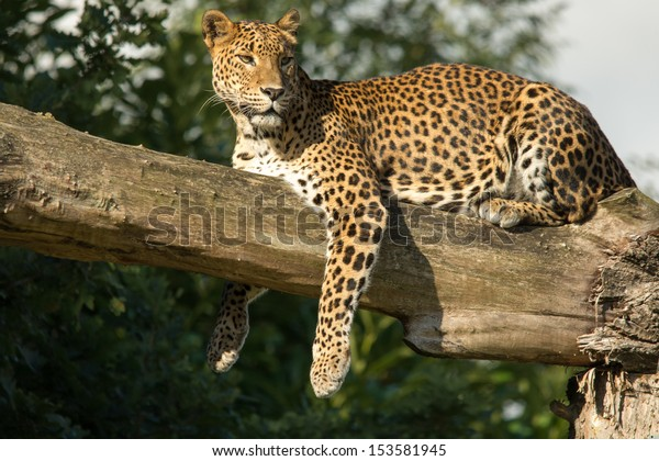 Sri Lankan Leopard resting on tree branch