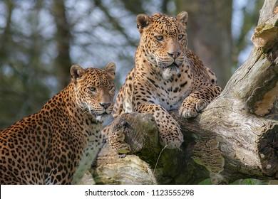 Sri Lankan leopards (Panthera pardus kotiya). Beautiful big cat and safari wildlife image. Breeding pair of this rare endangered animal from the island of Sri Lanka.