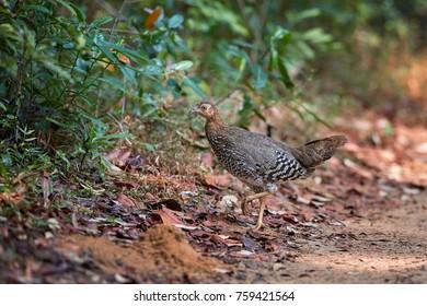 Sri Lankan national bird, Ceylon Junglefowl, Gallus lafayetii, brown colored, shy female in motion in dry forest of Wilpattu national park, Sri Lanka.