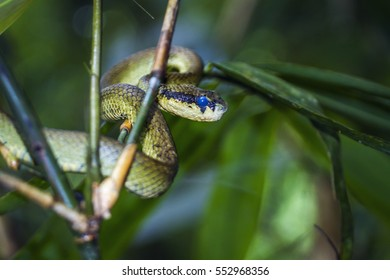 Sri Lankan pit viper in Sinharaja rainforest, Sri Lanka ; specie Trimeresurus trigonocephalus family of Viperidae