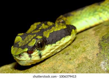 Sri Lankan Pit Viper Snake (Trimeresurus trigonocephalus) is a venomous pit viper species endemic to Sri Lanka - wild life photo from Sinharaja Forest Reserve