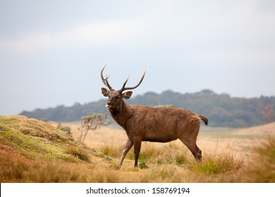 Sri Lankan sambar deer in Horton Plains national park