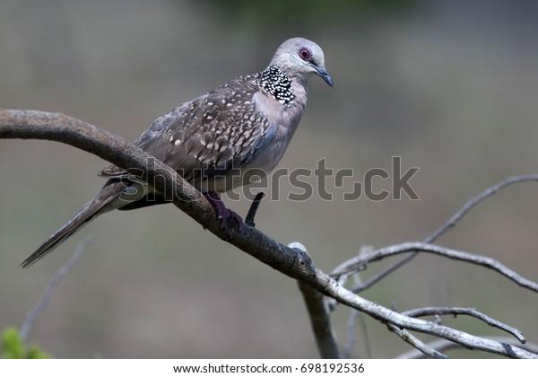 Sri Lankan Wood Pigeon Stock Photo Edit Now 698192536