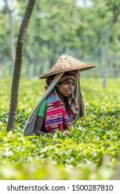 SRIMANGAL, BANGLADESH - 13 APRIL, 2018: A woman wearning a colorful shawl and a bamboo sunhat picks tea among bushes in a tea plantation.