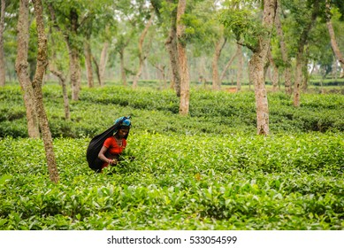 SRIMANGAL, BANGLADESH - May 24, 2013: A tea picker at work in a tea plantation in Srimangal, which is regarded as the tea capital of Bangladesh.