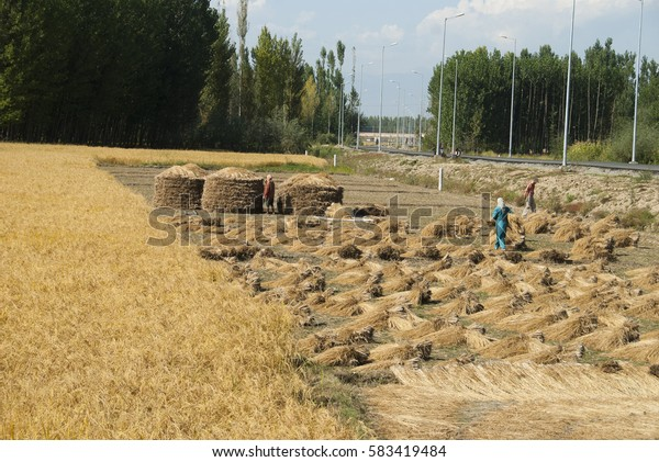 SRINAGAR, JAMMU KASHMIR, INDIA, 18 SEPTEMBER 2015 : unidentified Kashmirs women working their fields at village Charari Sharief.