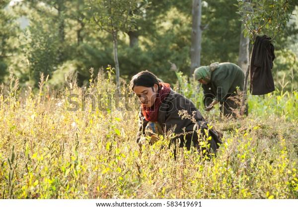 SRINAGAR, JAMMU KASHMIR, INDIA, 18 SEPTEMBER 2015 : unidentified Kashmirs women working their fields at village Charari Sharief.